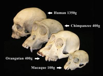 hominids apes human skulls