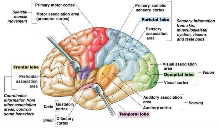 brain cortex