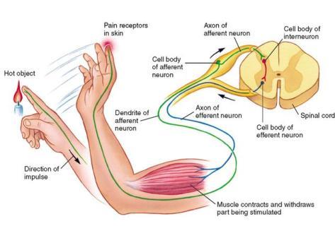 spinal reflex