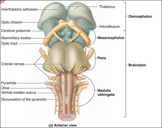 brainstem ventral