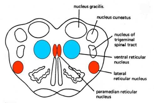 caudal medulla reticular formation