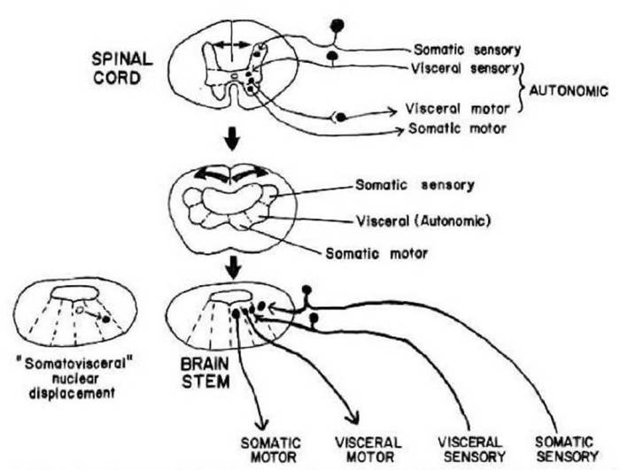 gray matter spinal cord brainstem