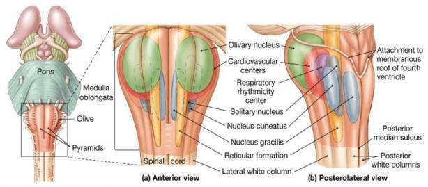 medulla nuclei