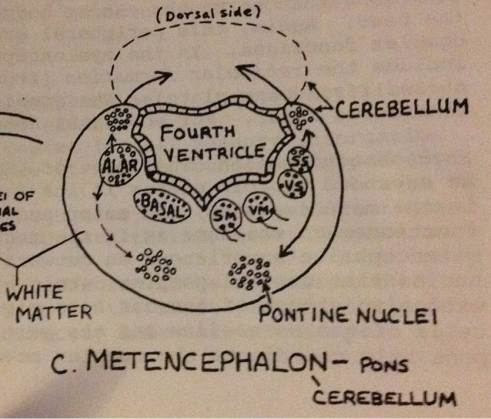 metencephalon cross section