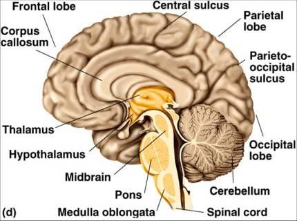 brain section