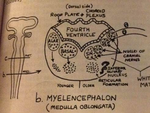 myelencephalon cross section