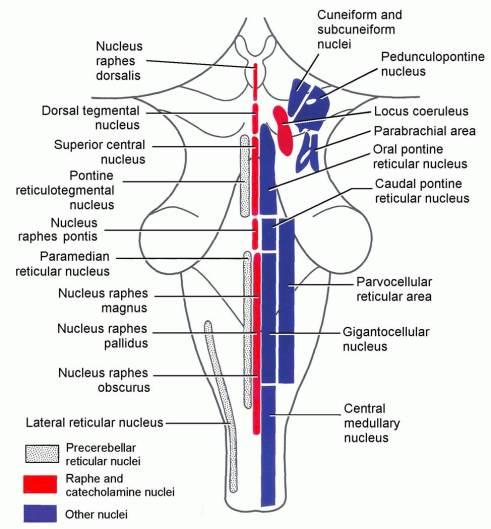 reticular formation