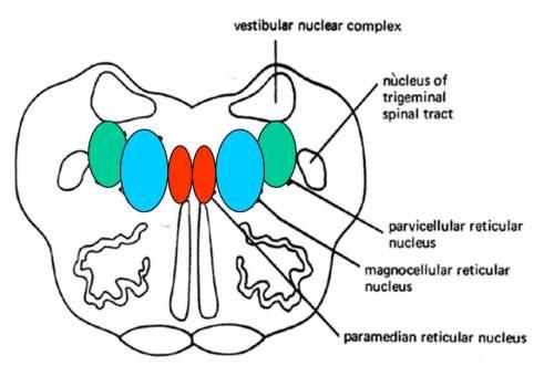 rostral medulla reticular formation
