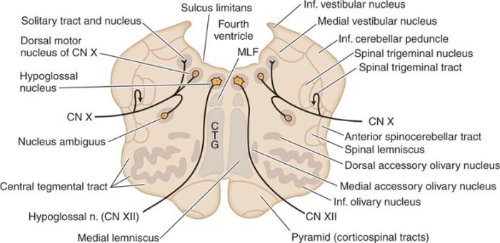 rostral medulla section 1