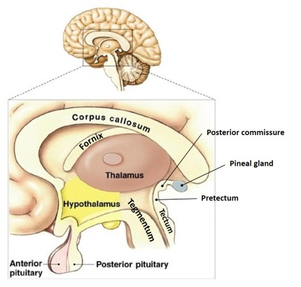 brain medial section view