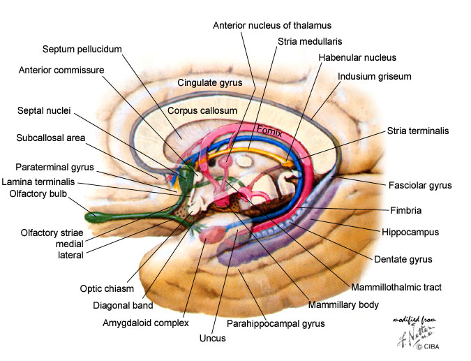 brain medial view 2