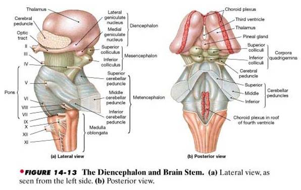 brainstem lateral dorsal
