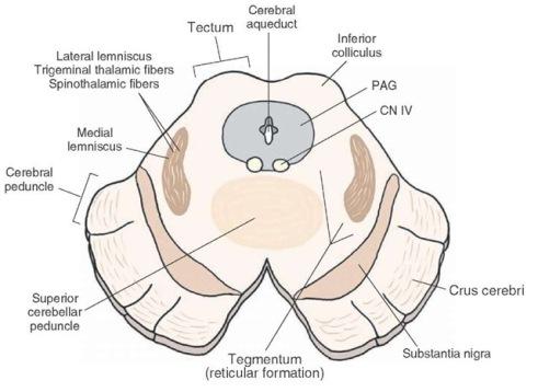 caudal midbrain 2