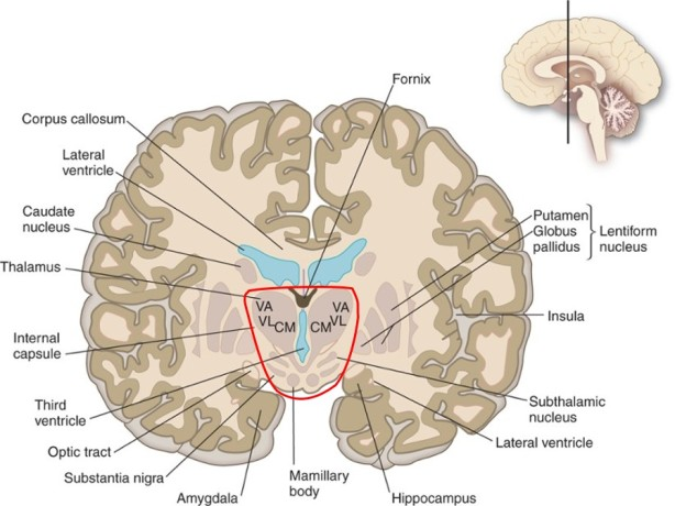 forebrain prosencephalon diencephalon cross section