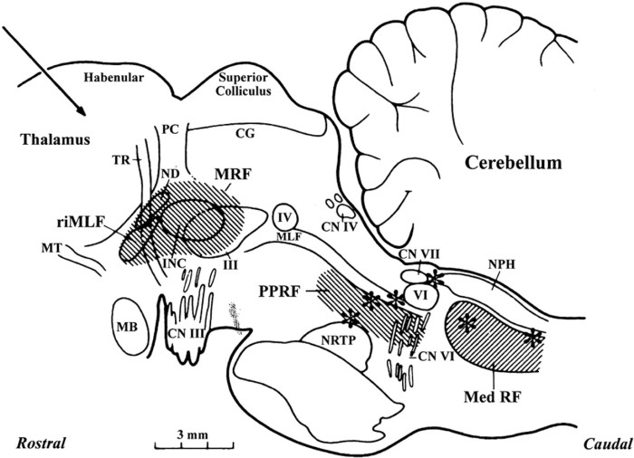 Sagittal section of monkey brainstem eye gaze